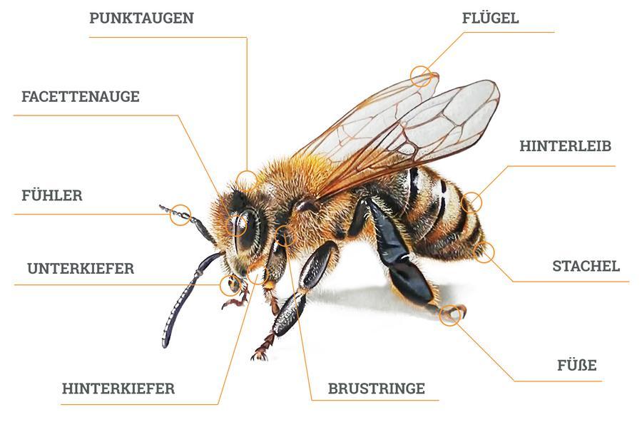 honigbieneapis melifera carnicaimkerei in sulden